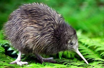 Kiwi kuşu hangi ülkenin sembolüdür? | Gezimanya